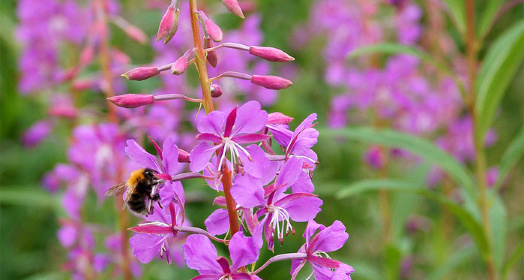 сиреневые цветы иван-чая живой баланс со шмелем на соцветии