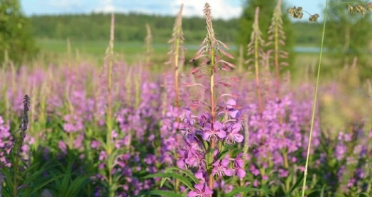 иван-чай живой баланс поле цветов