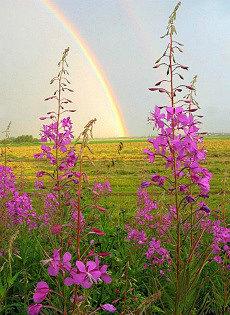 иван-чай живой баланс в поле с радугой на горизонте