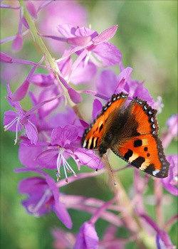 бабочка на ветке иван-чая живой баланс